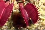 Rợn người clip cây ăn thịt 'banh hàm' diệt mồi hàng loạt