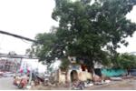 Cận cảnh đường vành đai 2 'né' cây đa trăm tuổi ở Hà Nội