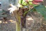 Đổ xô đi xem cây chuối kỳ lạ đơm hoa kết trái