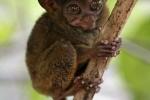 Ảnh đẹp: Loài khỉ bé nhất thế giới co ro trên cây