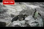 Xem chim cánh cụt 'chơi khăm' nhau