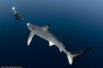 Ảnh: Thợ lặn 'liều mình' cùng cá mập dưới đại dương