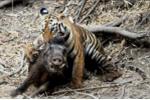 Rùng rợn cảnh mãnh thú cưỡi lưng, xé xác lợn rừng