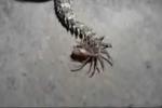 Kỳ lạ rắn độc có phần đuôi 'lai nhện' dị thường