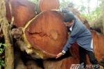 Hà Nội tiếp tục bán đấu giá số gỗ từ chặt hạ cây
