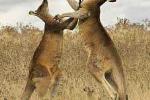 Siêu boxing: Kangaroo dễ dàng đo ván người