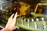 Đại hổ chúa dài 8m vùi thây trong bể rượu
