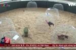 Clip: Theo chân công an đột kích trường gà rộng hơn 5.000m2 ở Quảng Bình