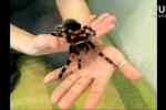 Clip: Thản nhiên chơi đùa với nhện độc khổng lồ