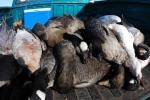 'Cơn mưa' hàng ngàn con ngỗng chết ở Mỹ