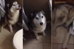 Clip: Chú Husky 'phát rồ' vì bị bắt đi tắm