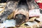 Ba ba 'khủng' ở Hải Phòng có 'họ' với cụ rùa Hồ Gươm