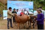 Hội chữ thập đỏ Việt Nam trao tặng 60 con bò cho nông dân nghèo