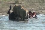 Clip sốc: Sư tử xé bụng trâu mẹ, ăn thịt trâu con