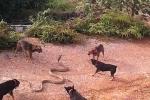 Clip: Rắn hổ mang chúa khổng lồ bị chó nhà 'đánh hội đồng'