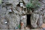 Kỳ thú quán rượu bên trong thân cây khổng lồ trăm tuổi