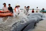 Giải cứu cá Ông hơn 600 kg mắc cạn