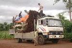 Phát hiện vận chuyển trái phép cây sanh hơn 100 tuổi