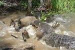 Clip: Lợn rừng đáng thương bị nhử làm mồi cho 'sát thủ đầm lầy'