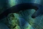Video: Nín thở xem 'sát thủ' lươn điện dài 2 mét diệt mồi