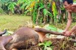 Nỗi đau vùng lũ: Gạt nước mắt xẻ thịt trâu bò ăn thay cơm
