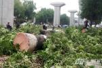 Thay thế 6.700 cây xanh: Hai công ty không phép vẫn được giao chặt cây