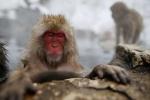 Khỉ sống gần Fukushima có thể đã nhiễm phóng xạ
