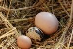 Trứng gà bé nhất thế giới có mặt ở Hà Nội?