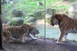 Clip: Đánh thức giấc ngủ trưa của hổ cái và cái kết 'đắng' cho hổ đực