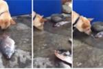 Xúc động clip chú chó nỗ lực hất nước cứu cá