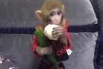 Clip: Khỉ con bỏm bẻm nhai rau cực đáng yêu