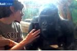 Clip: Khỉ đột thích thú xem ảnh tự sướng trong iPhone