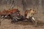 Sư tử bất lực nhìn linh cẩu 'nẫng' xác trâu rừng