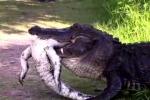 Clip sốc: Cá sấu khổng lồ ăn thịt đồng loại đầy man rợ