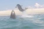 Clip: Hải cẩu thoát cú đớp chí mạng của cá mập trắng