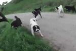 Chó tấn công người qua đường