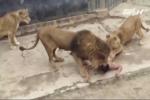 Clip: Thanh niên khỏa thân nhảy vào chuồng sư tử tự sát