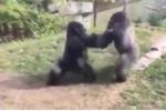 Clip: Khỉ đột đánh nhau như phim võ thuật