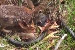 Clip thỏ mẹ điên cuồng tấn công rắn trả thù cho con hút hàng triệu lượt xem