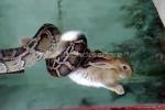 Xem rắn dùng độc chiêu bắt thỏ