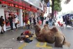 Trung Quốc: Cắt chân lạc đà để đi ăn xin