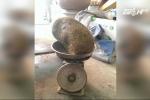 Video: Lại phát hiện 'cát lợn' nặng 2,8kg gây xôn xao dư luận