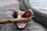 Bị cắt đầu 20 phút, rắn hổ mang vẫn cắn chết người