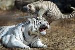 Cận cảnh hổ trắng Bengal quý hiếm trong vườn thú