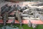 Nuôi cá sấu, 'lão nông' ở Vĩnh Phúc thành tỷ phú