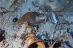 Mò được rượu sâm banh 230 tuổi dưới đáy biển Baltic