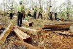 Lâm tặc cưa đứt cánh tay trạm trưởng bảo vệ rừng