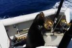 Clip: Hải cẩu nhảy lên thuyền 'xin cá'
