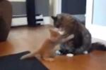 Chết cười với chú mèo 'ngựa non háu đá' nhất quả đất