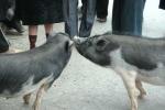Xem 'chọi lợn' có một không hai ở chợ phiên Mèo Vạc